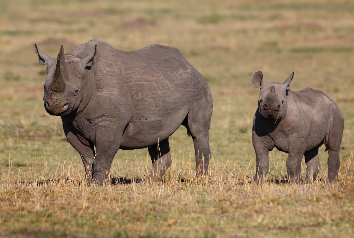 Black-Rhinos,-Kenya-shutterstock_631573223.jpg