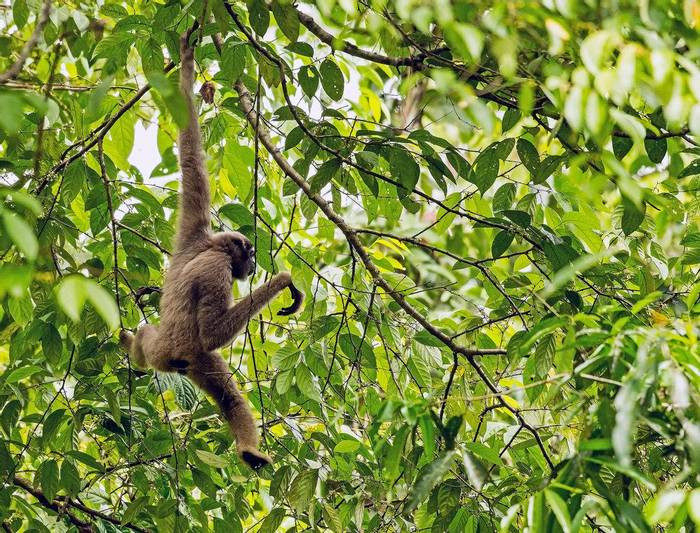 Müller's Bornean Gibbon (Clive Turnbull)
