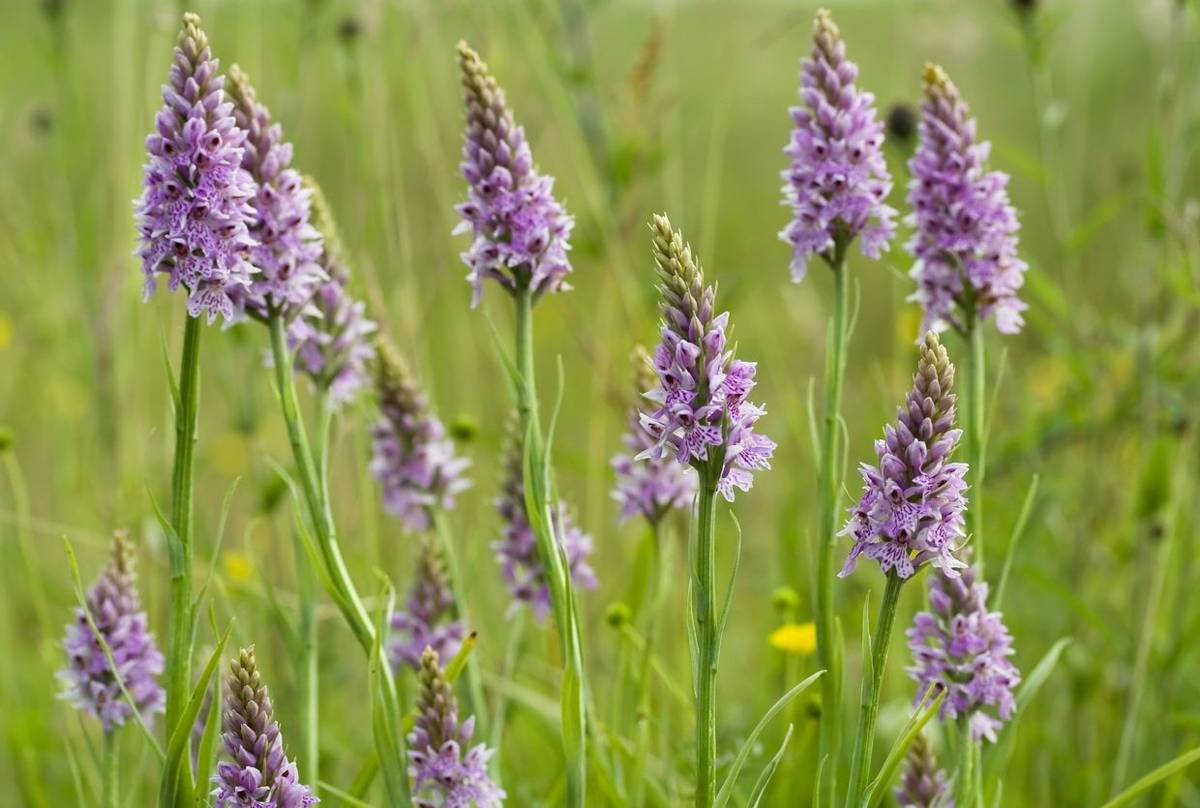 Common Spotted Orchids shutterstock_32718712.jpg
