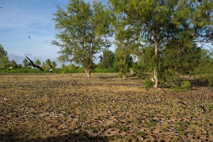 Frigatebird colony