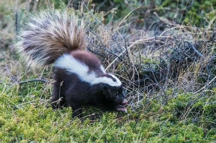 Patagonian Hog-nosed Skunk (Tim Melling)