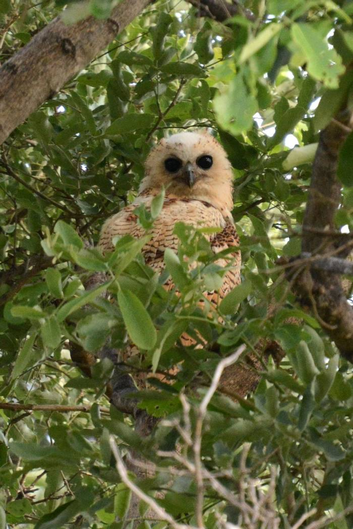 Pels Fishing Owl (Rob Thatcher)