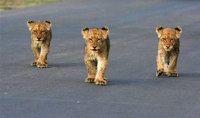 Lion Cubs (Leon Marais)