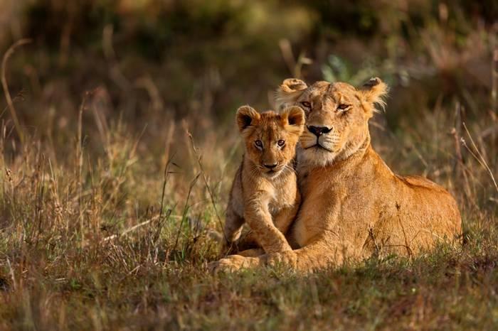 Lion, Kenya Shutterstock 238384645