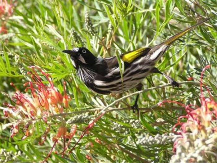 New Holland Honeyeater (Janine Duffy)