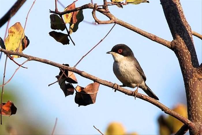 Sardinian Warbler (Stuart Elsom)