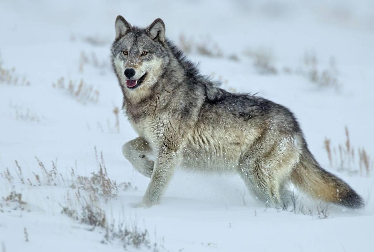 Grey Wolf, Yellowstone