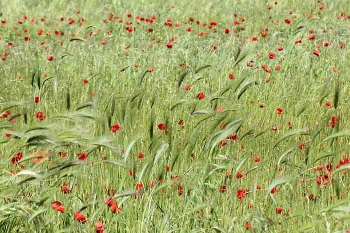 Poppies (Jim Higham)