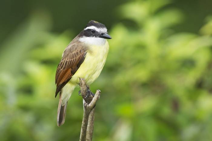 Great Kiskadee (Kevin Elsby)