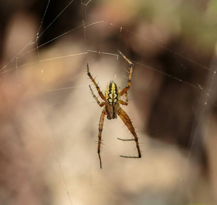Argiope bruennicht Tiger Spider (Ann Miles)