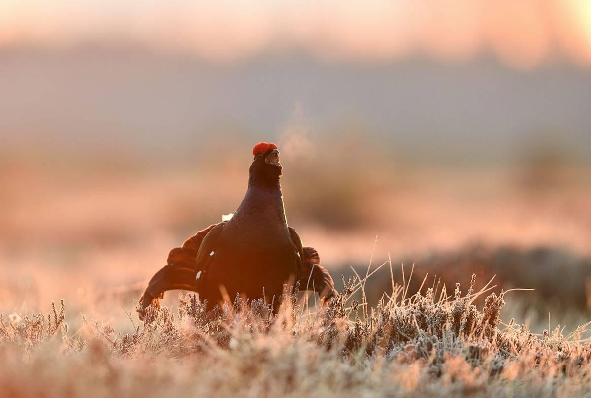 Black Grouse Shutterstock 1062111596