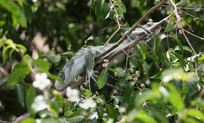 Iguana (Peter Stott)