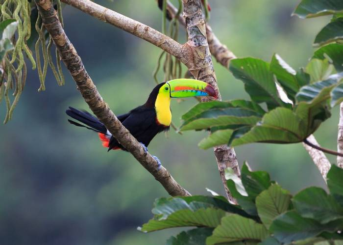 Keel Billed Toucan, Costa Rica Shutterstock 272810279