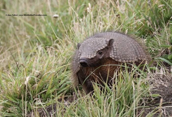 Big Hairy Armadillo (Alan Talbot)