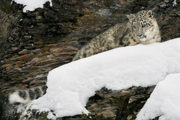 Snow Leopard. Shutterstock 129036224