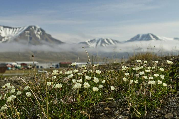Icelandic Poppies at Longyearbyen (Robin Couchman)