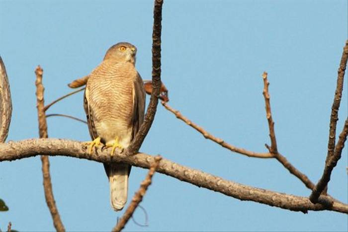 Shikra (Graham Cutts)