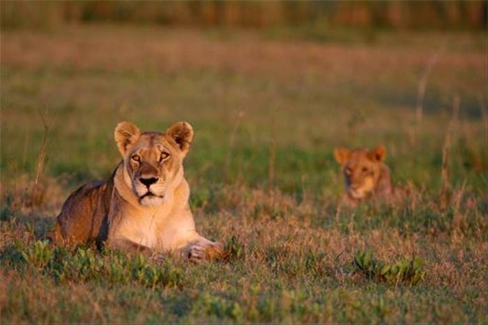 Lioness and cub (Grant Atkinson)