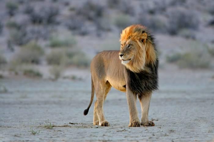 African Lion, Kalahari Desert, South Africa (2)