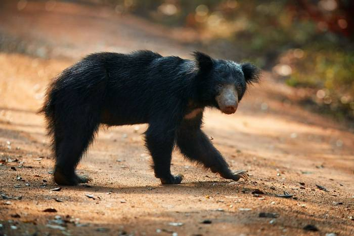 Sloth Bear, Sri Lanka shutterstock_524386264.jpg