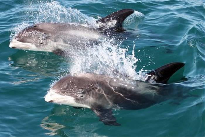 White-beaked Dolphin (Tom Brereton)