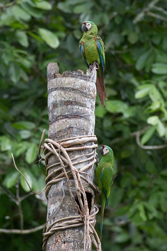 Chestnut Fronted Macaws (Tom Ambrose)