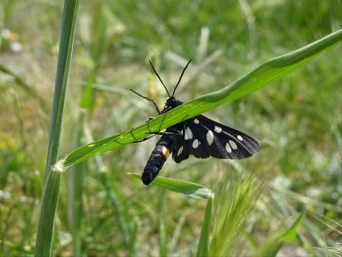 9 Spot Moth (Kerrie Porteous)