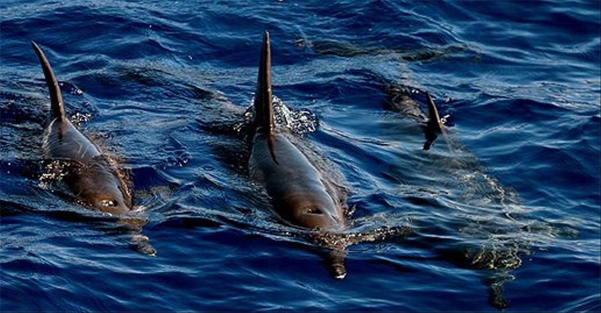 Rough-toothed Dolphins (Tom Brereton)