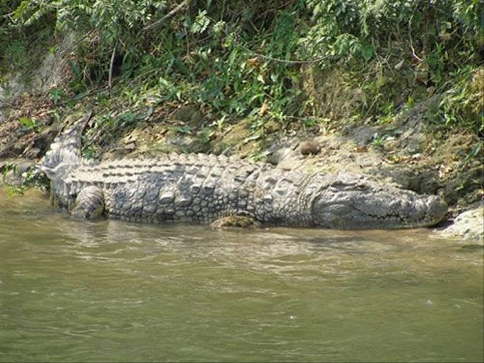 Nile Crocodile (Thomas Mills)