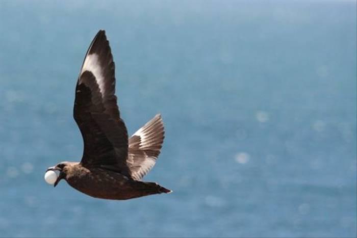 Falkland Skua (Alan Henry)