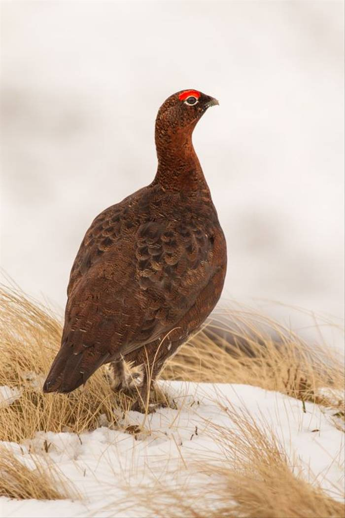 Red grouse (© Robert Harvey)