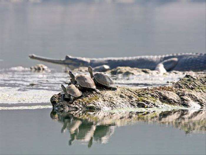 Gharial and Turtles (Michael Haley)