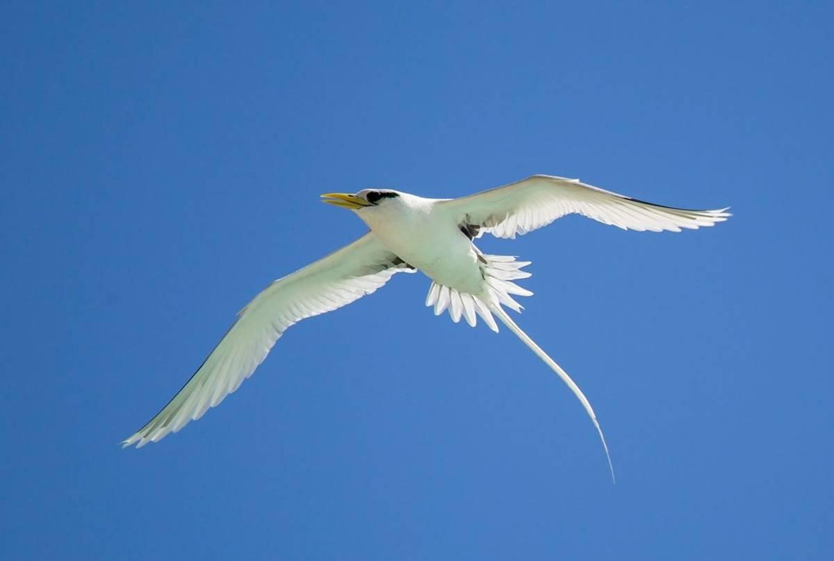White Tailed Tropicbird Shutterstock 1104717440