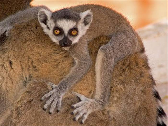 Baby Ring-tailed Lemur (Paul Stanbury)