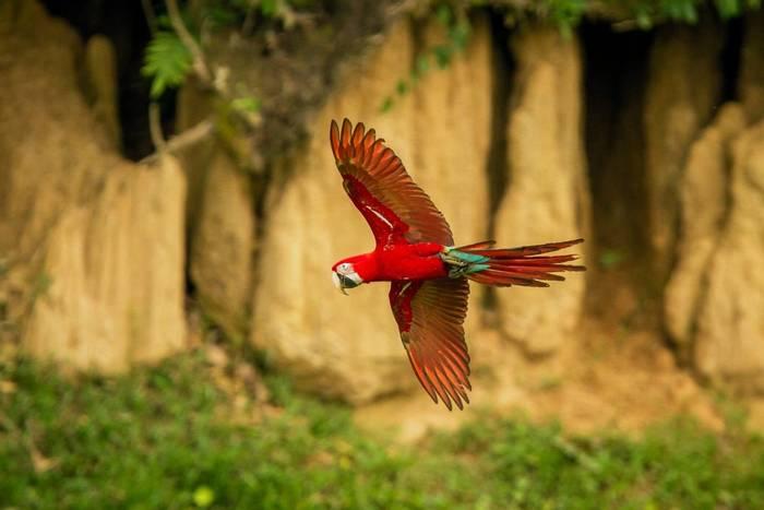 Red and Green Macaw, Peru shutterstock_1261955713.jpg