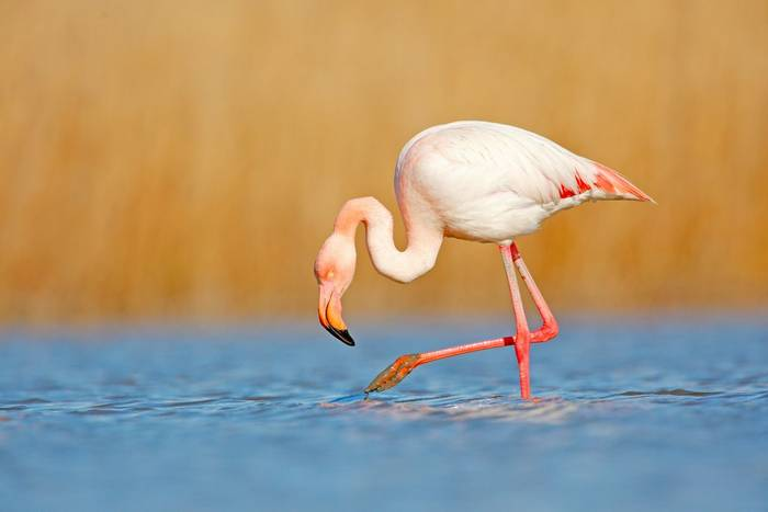 Greater Flamingo, Greece, shutterstock_1014443668.jpg