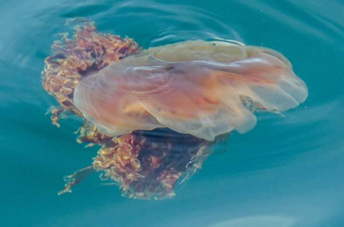 Lion's Mane Jellyfish (Tim Melling)