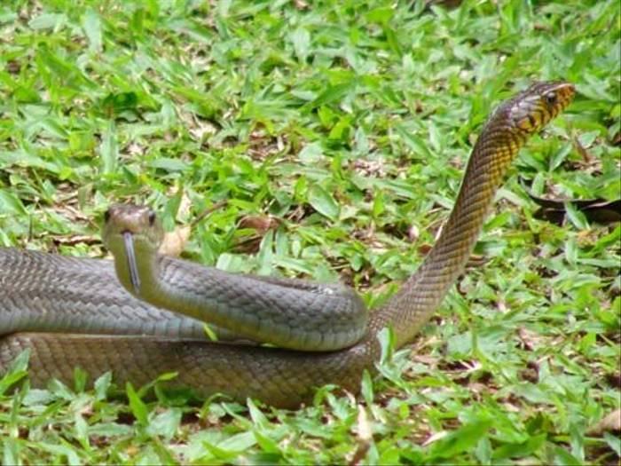 Rat Snakes  (Barbara Lovell)