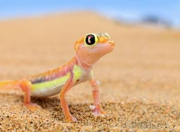 The Reptiles & Amphibians of Namibia