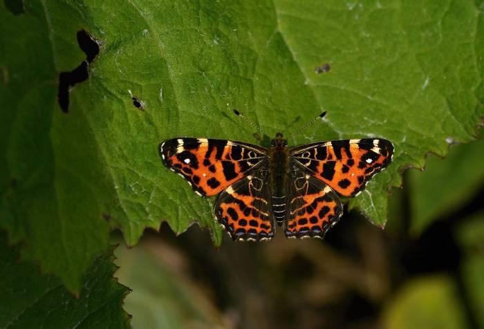 Map Butterfly, Martin Hrouzek