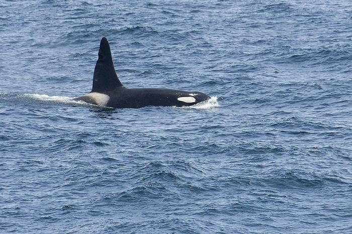 Orca (Paul Marshall).jpg