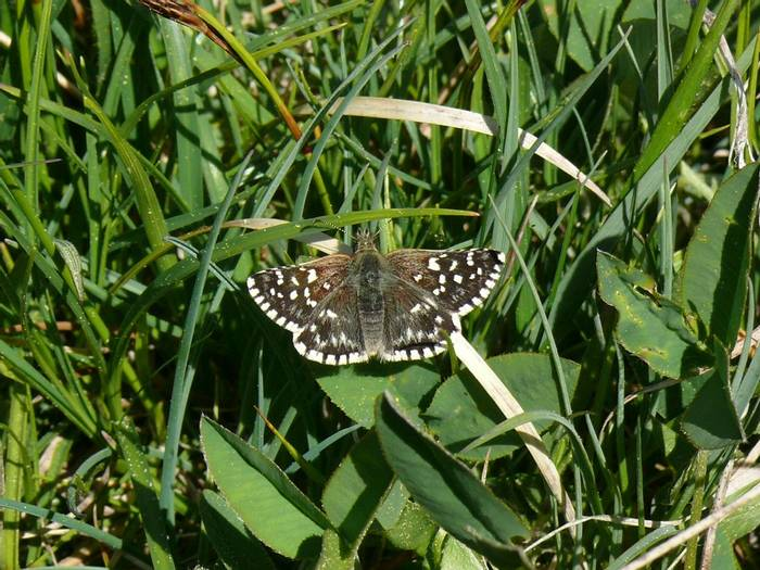 Grizzled Skipper 1.jpg