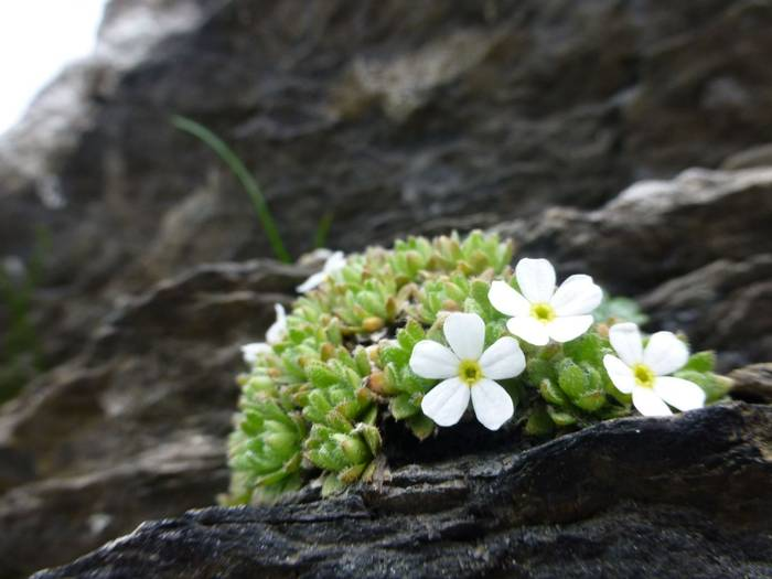 Androsace pubescens (Kerrie Porteous)