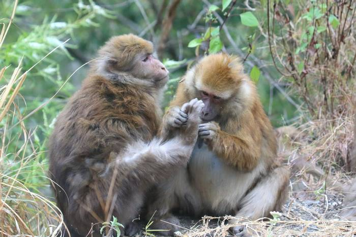 Assam Macaques (Sujan Chatterjee)