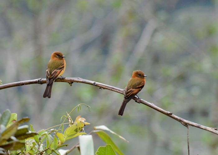 Cinnamon Flycatcher (Stephen Woodham)