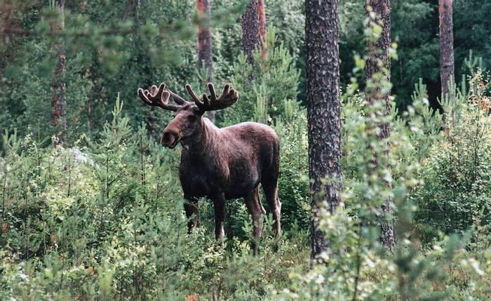 Elk (Joop Bierling)