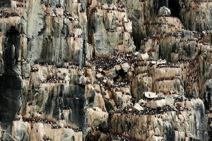 Nesting Brunnich's Guillemots at Alkefjellet (Bret Charman)