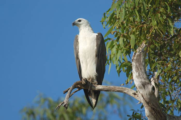 White-bellied Sea-eagle shutterstock_50354416.jpg