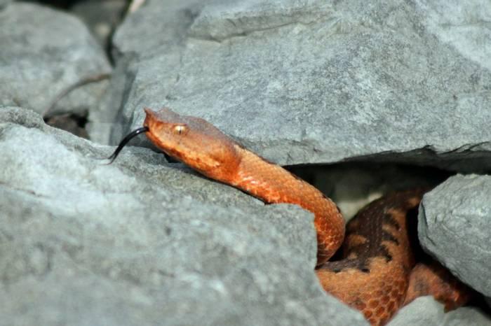 Nose-horned Viper (Tom Mabbett)