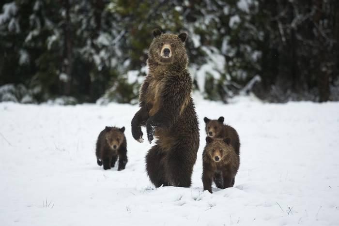 Brown Bears, Wyoming, USA shutterstock_470832875.jpg